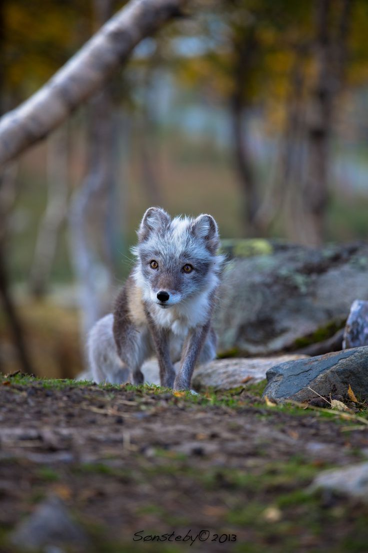 Camouflage by Cecilie Sonsteby. Arctic fox.