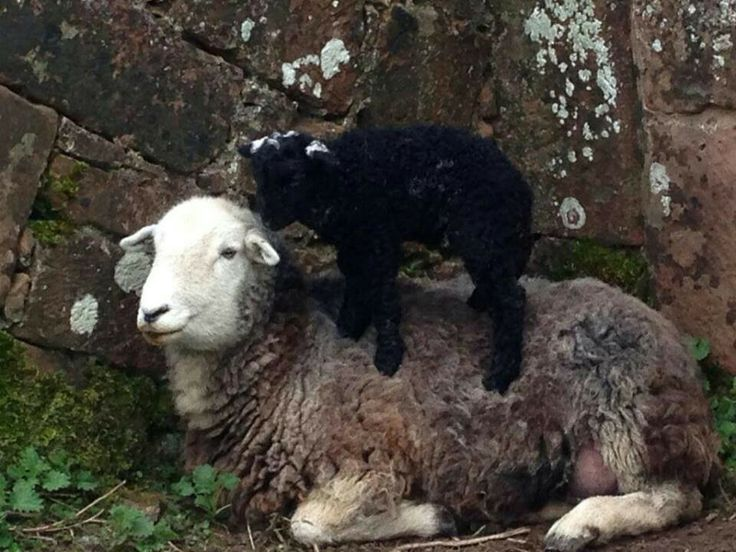Sandra Stolkers Herdy lamb giving mum a massage ...