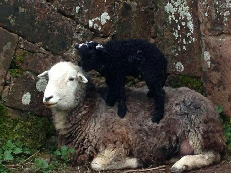 Sandra Stolkers Herdy Lamb Giving Mum A Massage