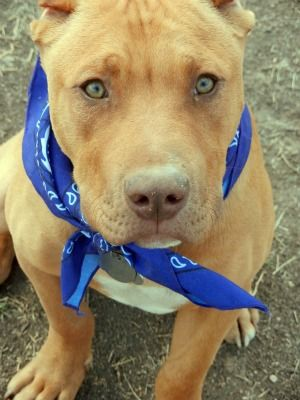 Red Nose Pit Bull seven months old in training to be service dog