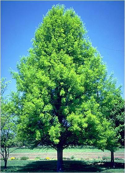 16 best pin oak images on pinterest oak tree plants and for Garden deciduous trees