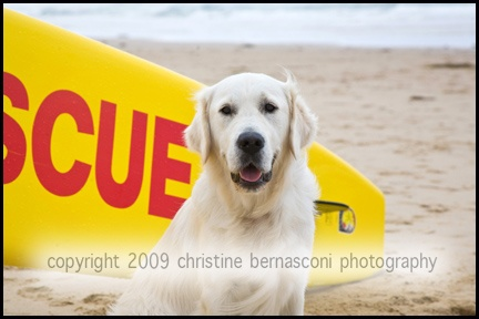 Yebo at the beach helping the lifeguards  Assistance Dogs Australia