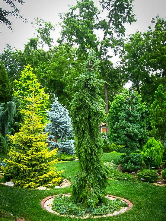 Buy bruns weeping serbian spruce online arrive alive for Weeping evergreen trees for small gardens