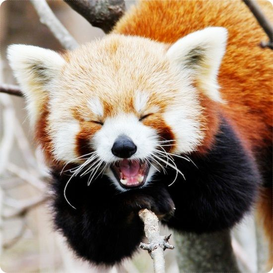 Fun facts about Red pandas, they're slightly larger than a domestic cat, and they weigh about 6 kg.