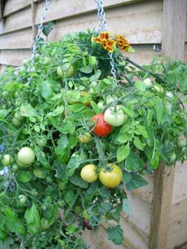 How To Grow Vegetables Hanging Baskets And How To Grow On