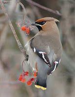 Przyroda wokół mnie: Syberyjskie ptaki