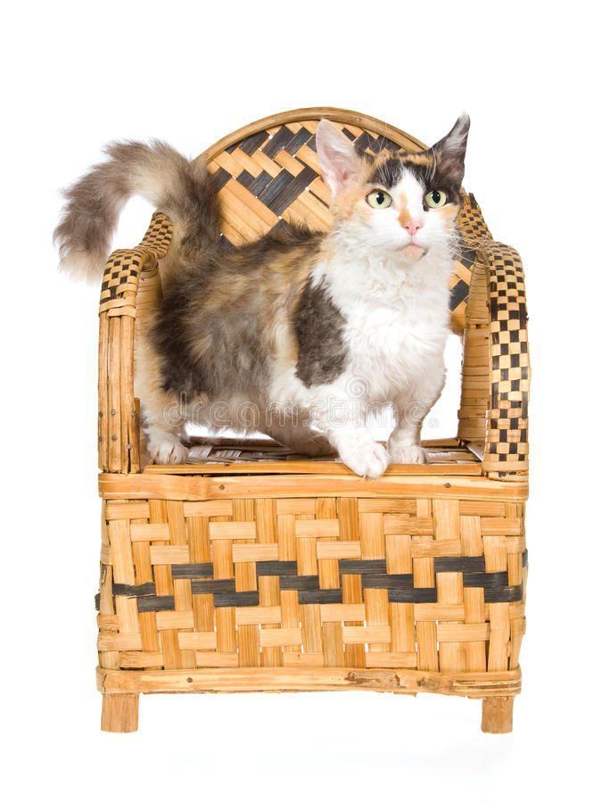 Here is long list of Beautiful Curly Haired Cat Breeds in the World, like Skookum, Selkirk Rex, LaPerm, Devon Rex, Cornish Rex, American Wirehair, German Rex