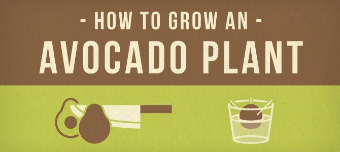 Avocado_header