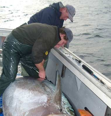 3.1 million square miles where Atlantic Bluefin tuna spawn was oiled