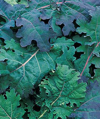 Red Russian Kale Seeds and Plants, Vegetable Gardening at Burpee.com