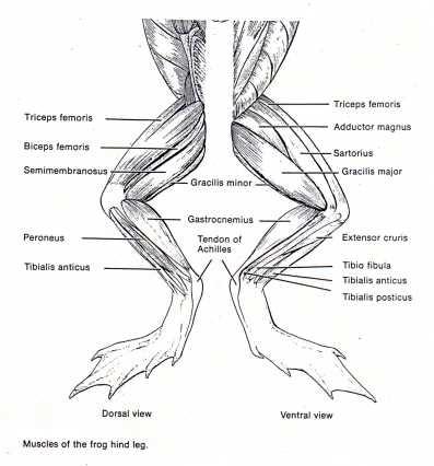 frog external anatomy ventral. Black Bedroom Furniture Sets. Home Design Ideas