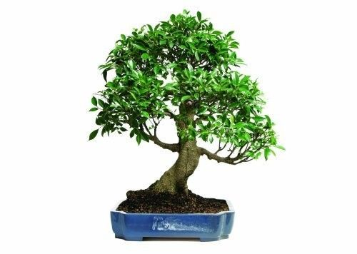 Golden-Gate-Ficus-Bonsai-Tropical-Beauty-Indoor-Bonsai-20-Years-old-Best-Plant