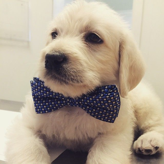 Beautiful Puppies Bow Adorable Dog - 64833f0d83392068d514841b46149e48--bowties-dog-pictures  Picture_551695  .jpg