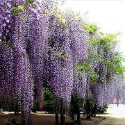 Favorable 200Pcs Pampas Grass Seed Potted Ornamental Plants Purple Pampas Grass Garden Bonsai - NewChic Mobile