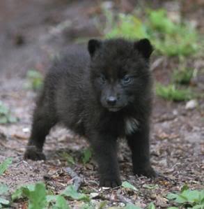Black wolf cub.