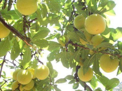 Todo sobre los arboles frutales: Cuidados de los árboles frutales