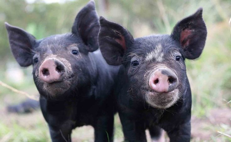 Twelve Steps to Starting Your Own Hog Farm Business