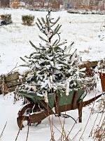 Vintage wheelbarrow with pine tree.