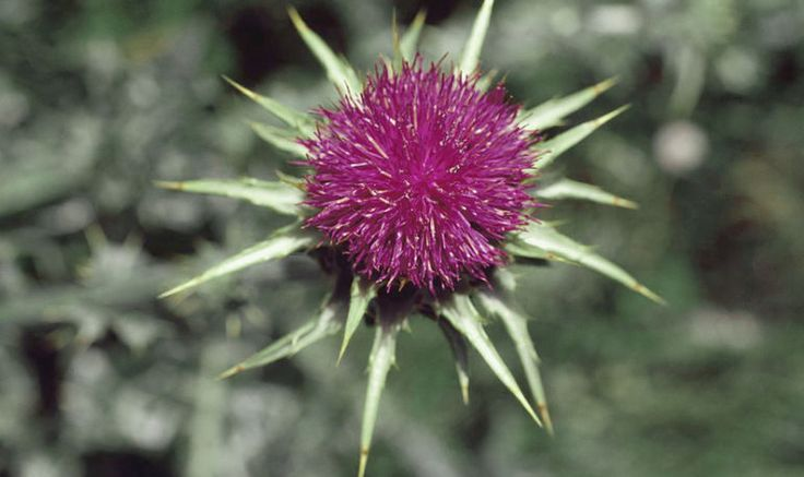 The Anticipatory Hangover Cure + 6 Other Beauty Benefits Of Milk Thistle Hero Image