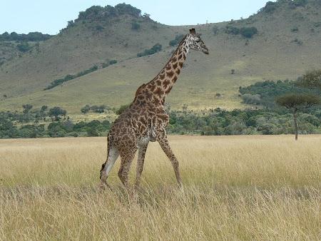 Safari in Kenya. Afla mai multe: http://www.imperatortravel.ro/2012/10/mic-ghid-al-parcurilor-de-safari-din-africa-de-est-kenya-si-tanzania.html