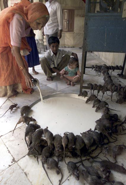 Karni Mata, rat temple, Deshnoke, India.The temple has around 20,000 rats that are fed, protected and worshipped.