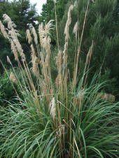 Austroderia fulvida syn. Cortaderia fulvida - the smallest of the NZ native toetoe. 1.5m h x 1m w; full sun, drought tolerant.