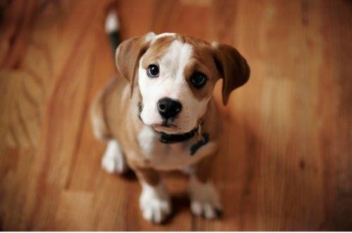 cuteeeeeeAmerican Bulldogs, Bull Terriers, Puppies Dogs Eye, Puppies Eye, Pets, Gift Cards, Pit Bull, Dogs Portraits, Animal