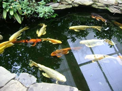 67 best images about koi pond on pinterest raised pond for Sick koi fish