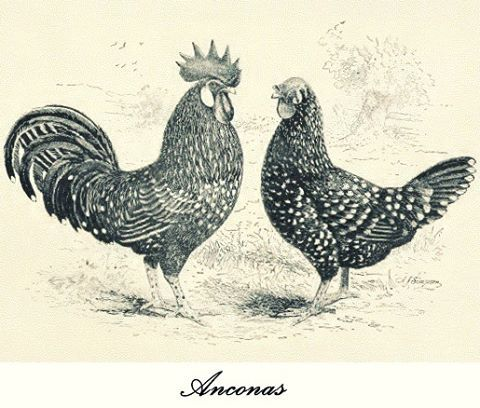 Anconas rooster & hen