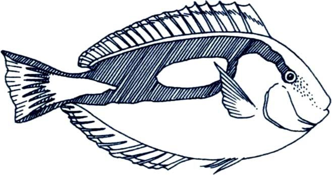 Saltwater Fish Clip Art   Blue Tang Fish Drawing Images & Pictures - Becuo