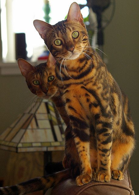Us? by diverevan on Flickr.Bengal Cats named Java  Roso