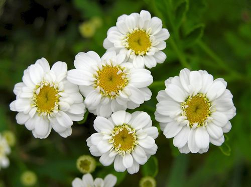 Feverfew- Mosquito repellent plant. Good for walkways and around porches.