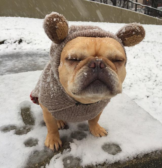 French Bulldog, Not even my 'Koala Bear Sweater', can help keep out the 1st snow of the year. I Need 50 ccs of Hot Spiced Cocoa stat!