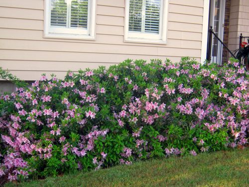When and how to prune azaleas - prune within 3 weeks after they finish blooming in the spring, don't shear