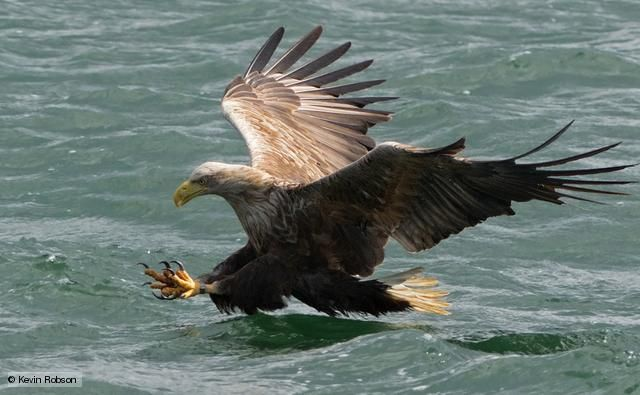 White-tailed eagles went extinct in Britain during the 1900's, but were reintroduced to Scotland thirty years ago. They are the largest eagles in Europe. (BBC, 2013)