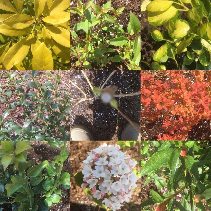 Heathgate shrubs purchased