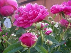 Вы после цветения обрезали пионы? Ай! Непорядок!))) Узнайте как ухаживать за пионами. Чем подкармливать растения и когда нужно делать обрезку, чтобы пионы радовали своим цветением каждый год!  Обрез…