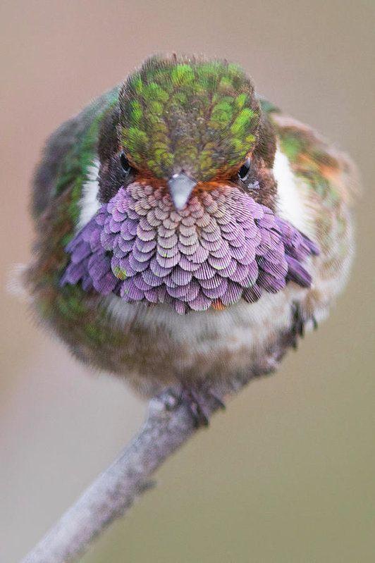 Volcano Hummingbird Print by Miguel Siu.