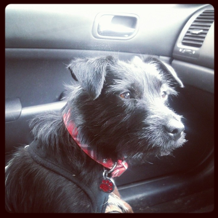 Bella our patterdale terrier rescue when she first arrived