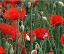 "Legion of Honor Poppy: These are the wild red corn poppies, immortalized in Canadian John McRae's poem written during World War I: ""In Flanders' Fields the poppies blow, between the crosses row on row"".  The poppies that seeded themselves profusely in the trenched fields of the Western Front became symbolic of the blood of the many thousands of brave soldiers who died there and the sadness of war. In England after WWI, a factory opened for the production of artificial red poppies, which were…"