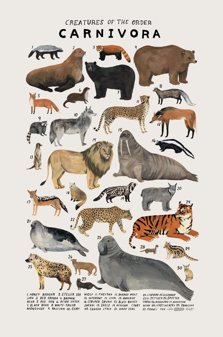 """""""Creatures of the order Carnivora,"""" 2016. Art print of an illustration by Kelsey Oseid. This poster chronicles 30 amazing bears, big cats, wolves, and more from the taxonomic order Carnivora. Print measures 12x18 inches. Printed in Minneapolis on acid free 80# Mohawk Superfine cover. Packaged rolled with kraft tissue in a protective tube."""