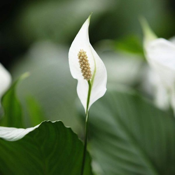 If you often forget to water your houseplants, acquire a peace lily, it is forgiving. Incredibly easy to grow, peace lily flourishes in shady locations. It also cleans up the air.