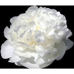 So want to make this paper peony!