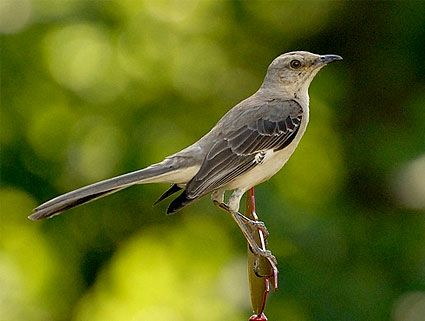 You should hear it!  Northern Mockingbird, Identification, All About Birds - Cornell ...
