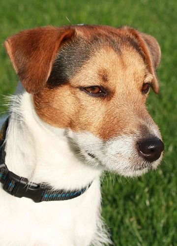 Jack Russell Terrier,  my absolute favorite dogs