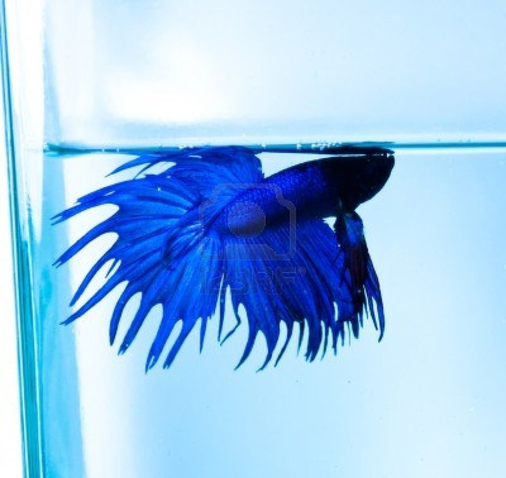17 best images about blues on pinterest spotlight lakes for Can you put betta fish with other fish