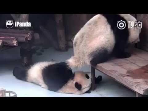 你一定是故意的You must be deliberate/今天最好笑funniest today/熊貓 panda