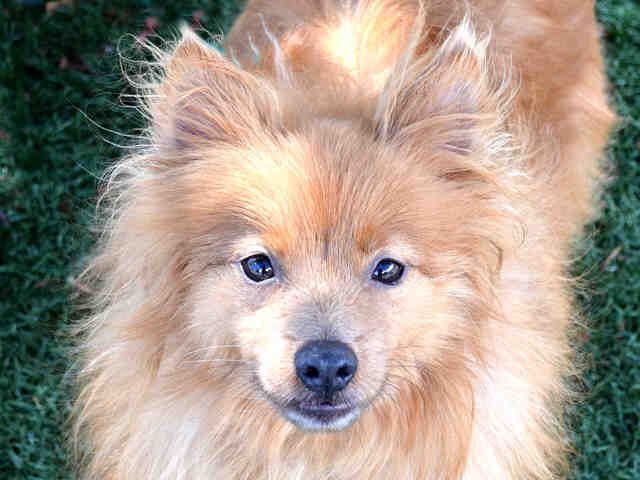 pomeranian lab mix 1000 images about dogs dogs dogs more dogs on 8187