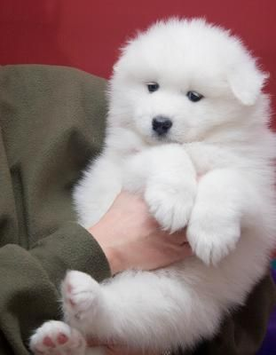 Samoyed Puppy 1....my favorite man in my life had a dog just like this...loved the man & loved the dog....Haukea~~