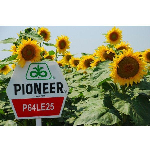 SEMINTE FLOAREA SOARELUI PIONEER P64LE25, sac 150.000 boabe
